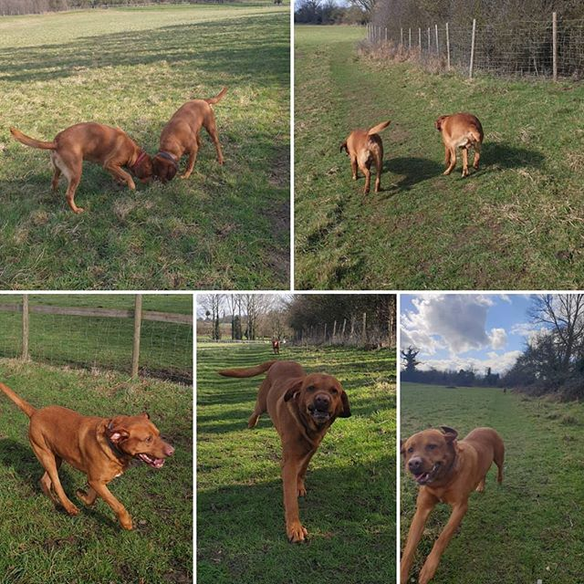 Lovely walk in the sunshine on Saturday, shame it didn't last #dogwalking #foxredlab #dogsofinstagram
