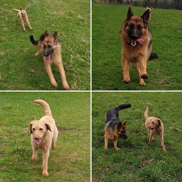 Group walk #labradoodle #germanshepherd #dogsofinstagram #dogwalking