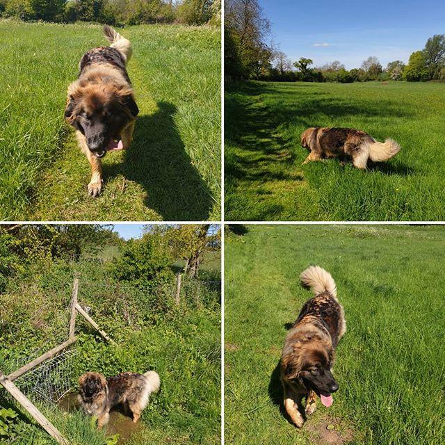 Private walk #leonberger #sunnyday #dogwalking #dogsofinstagram