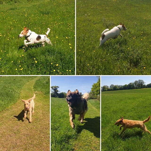 Jumping with joy #sunnyday #dogwalking #dogsofinstagram #labradoodle #parsonsterrier #leonberger