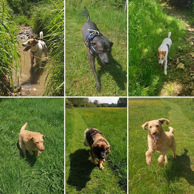 Few snaps from yesterday's walks #dogwalking #dogsofinstagram #labradoodle #parsonsterrier #leonberger #xoloitzcuintli