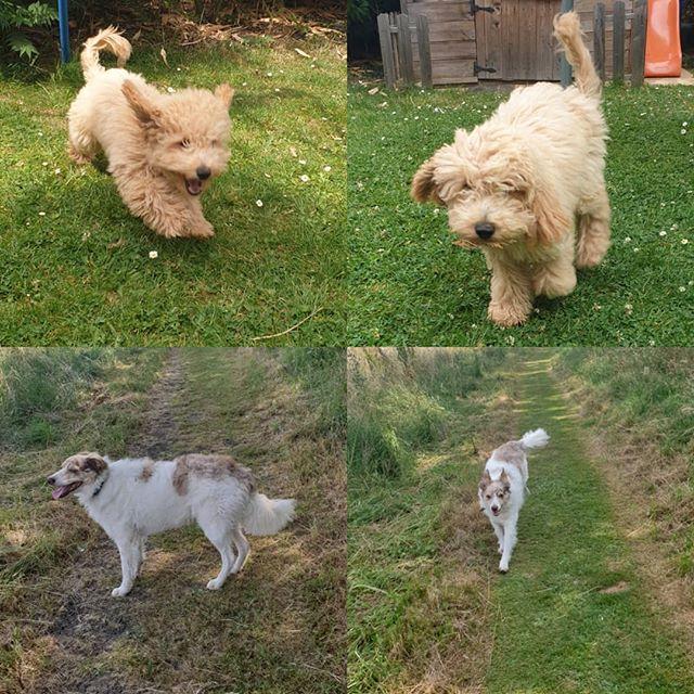 Some new faces #cockapoos #puppy #cockapoosofinstagram #bordercollie #dogwalking #dogsofinstagram