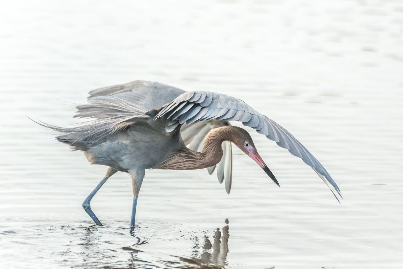 """Reddish Egrets are known for """"canopy feeding."""" ( Photo 2 )"""
