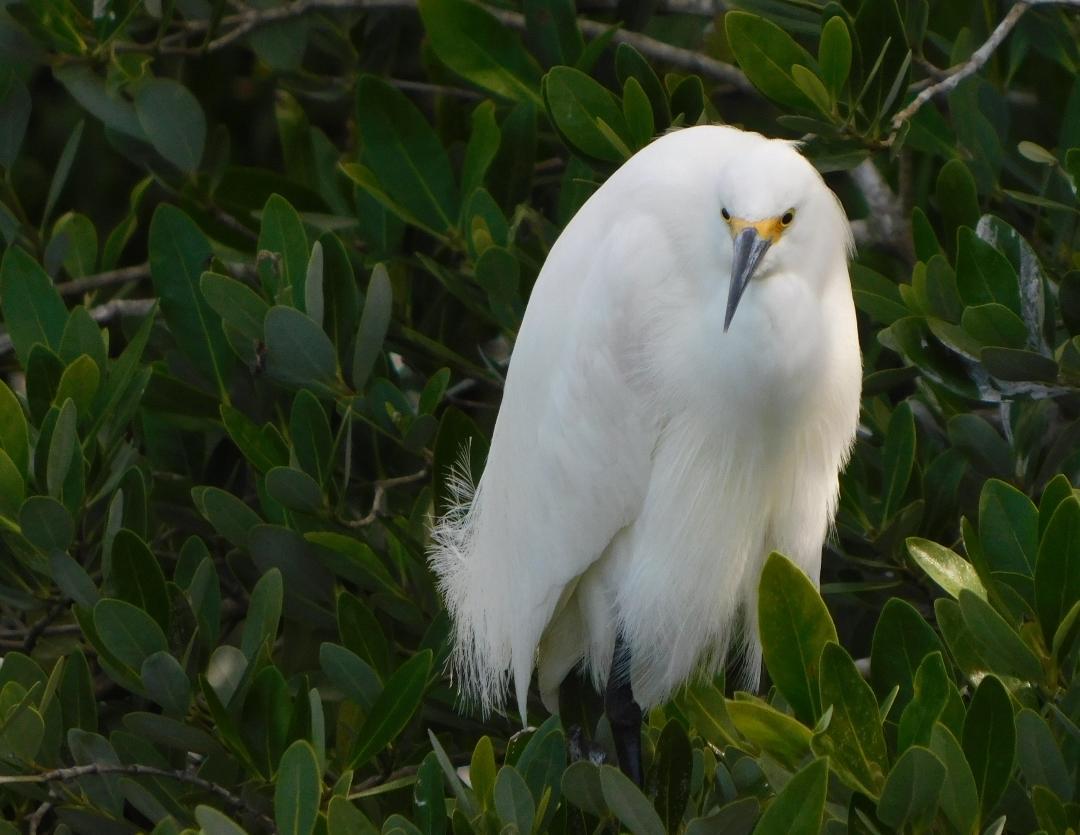 Snowy Egret (Ruby St. James)