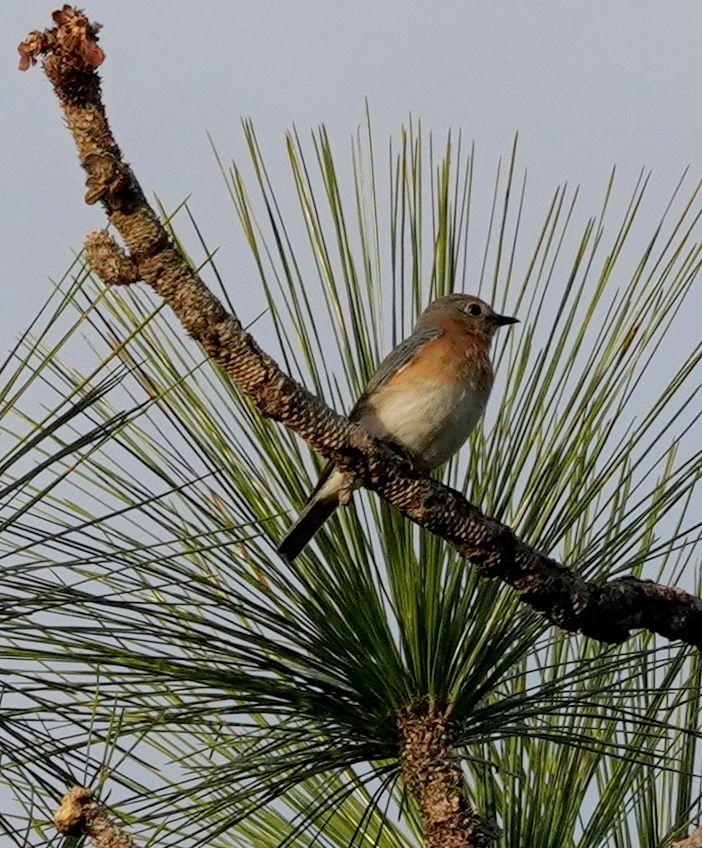 Eastern Bluebird (LS)
