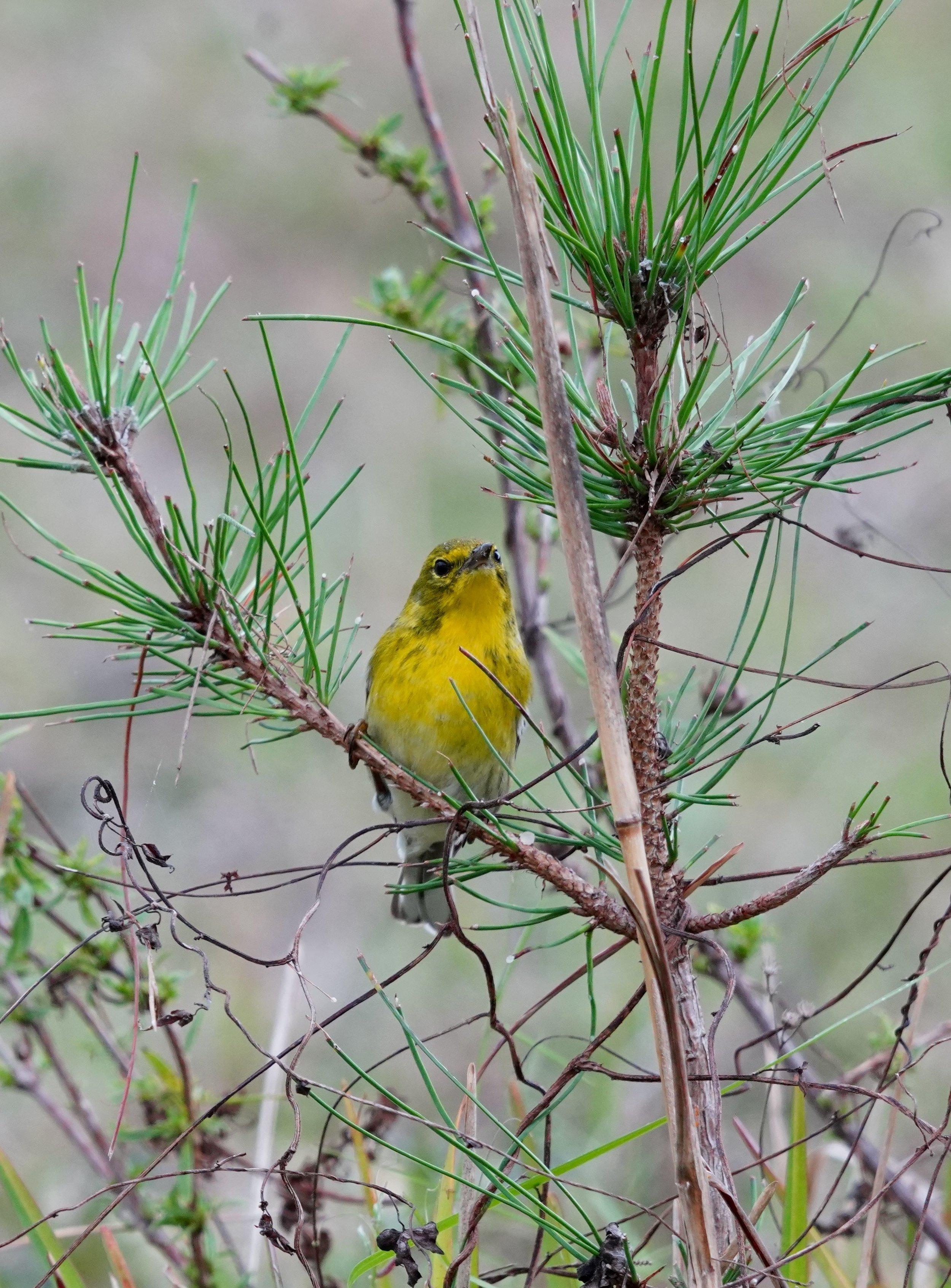 Pine Warbler (LS)