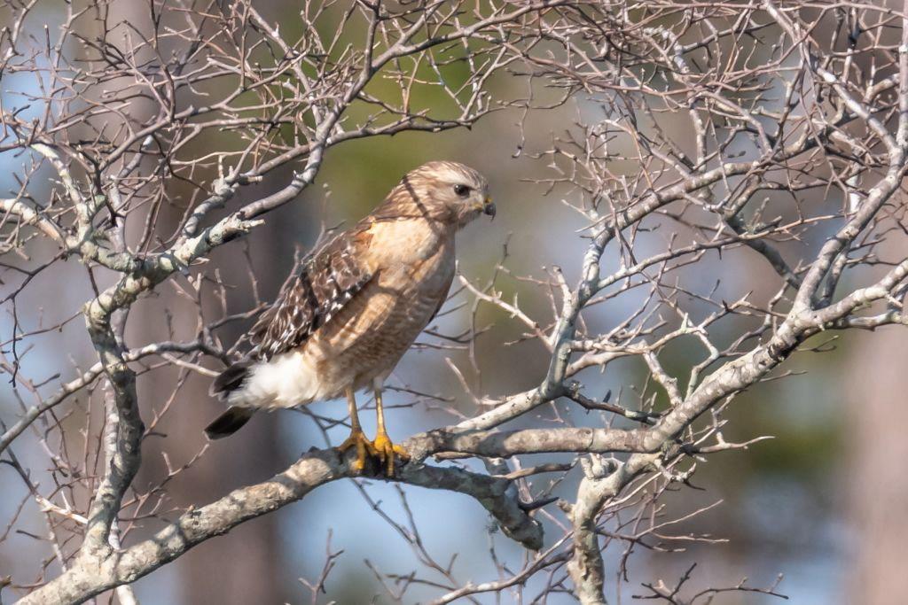 Red-shouldered Hawk (HR)
