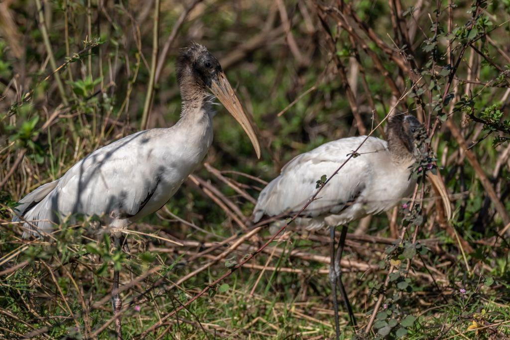 Wood Stork (HR)