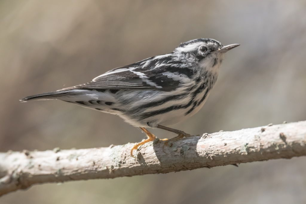 Black and White Warbler (HR)