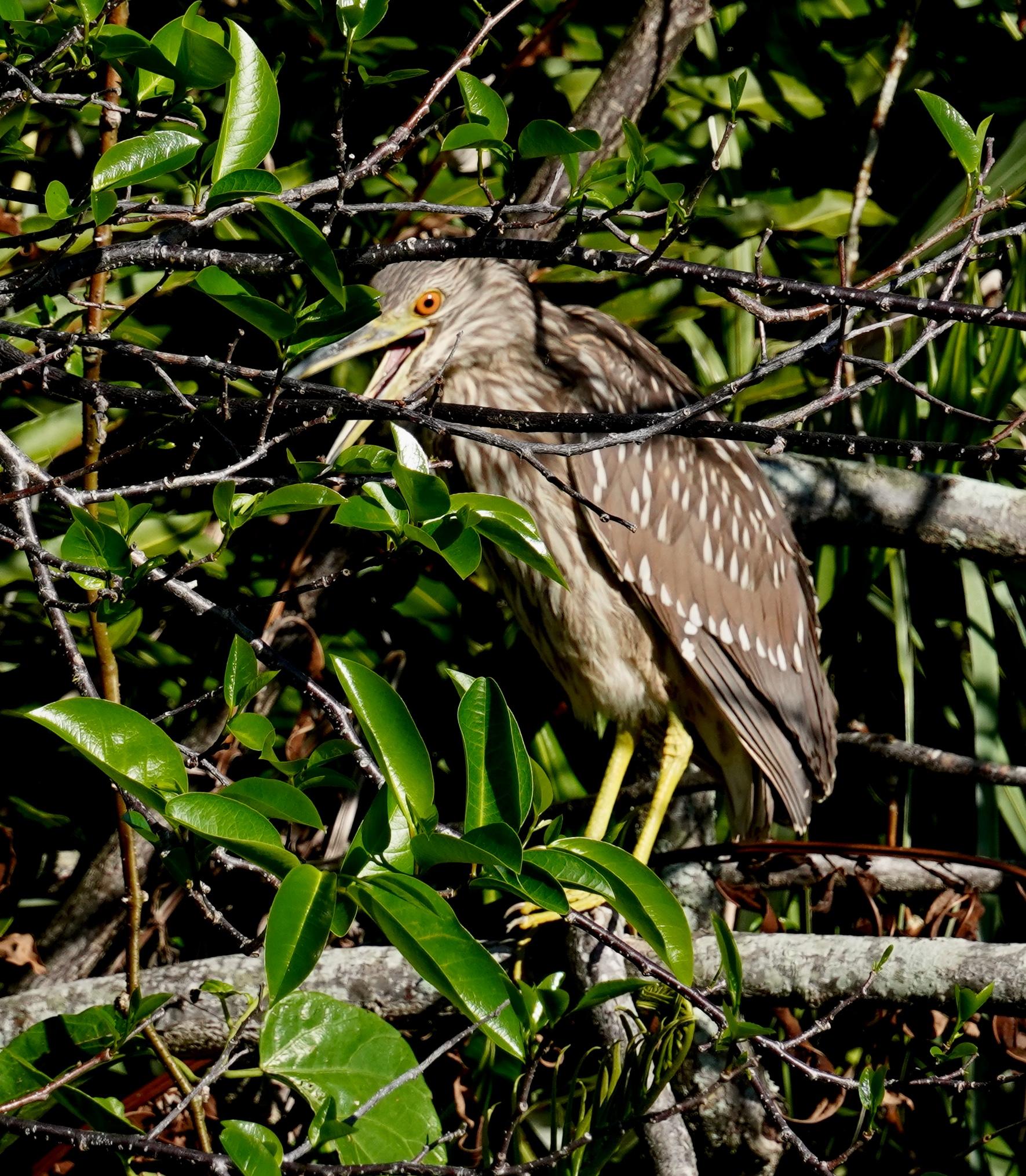 Black-crowned Night Heron, immature (LS)