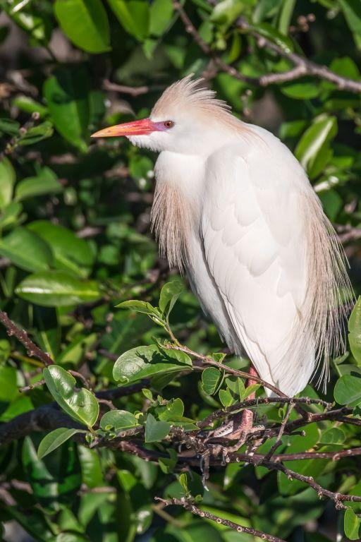 Cattle Egret (HR)