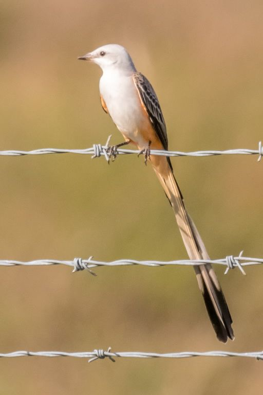 2 Scissored-tailed Flycatcher