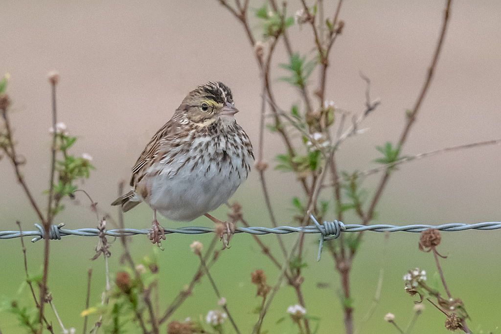 11 Savannah Sparrow