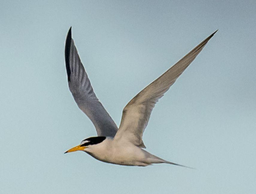 Copy of Least Tern (6)