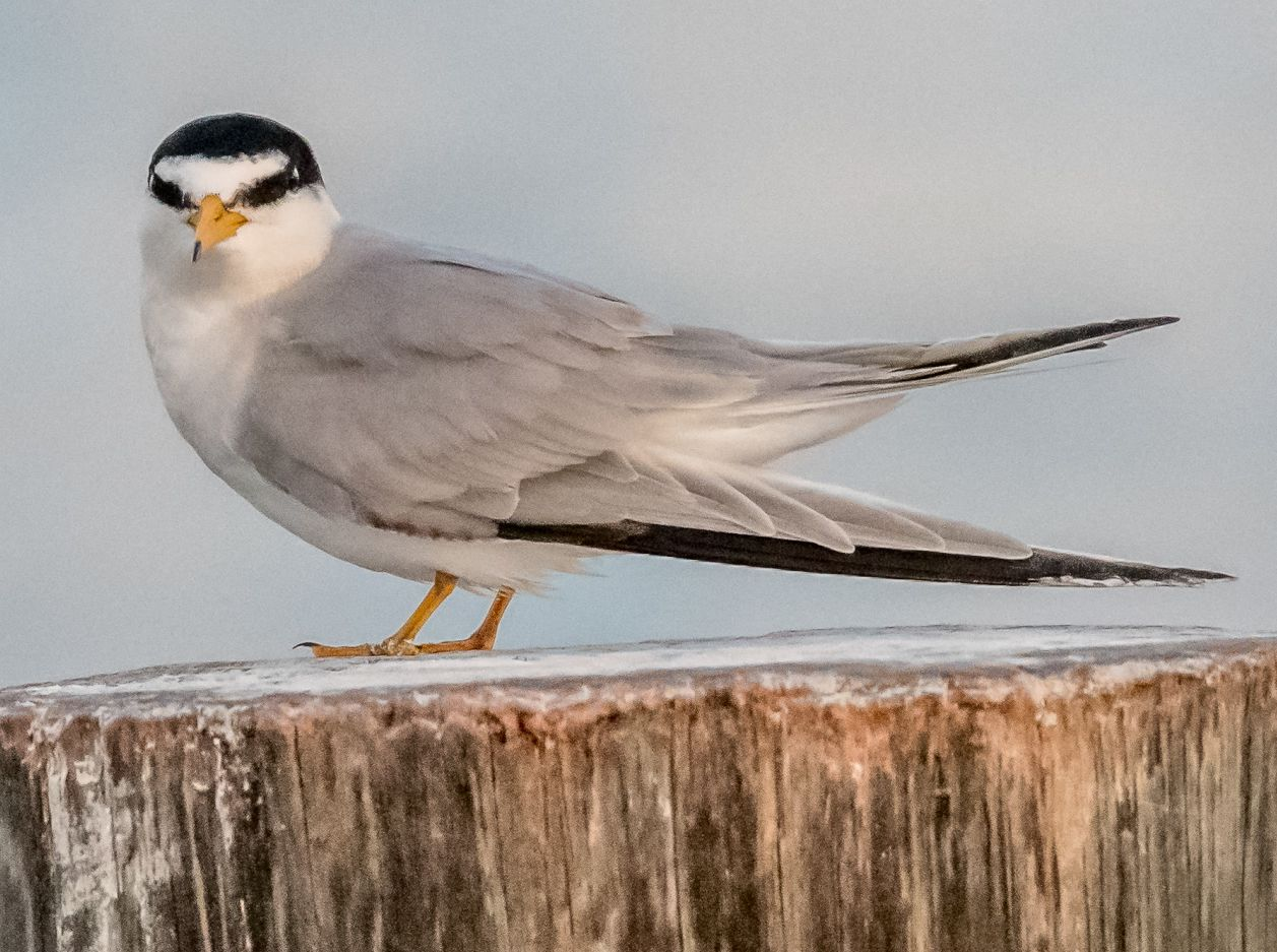 Copy of Least Tern (7)