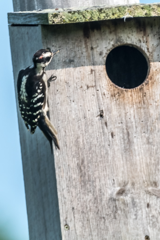Hairy Woodpecker examining Kestrel Box (3)