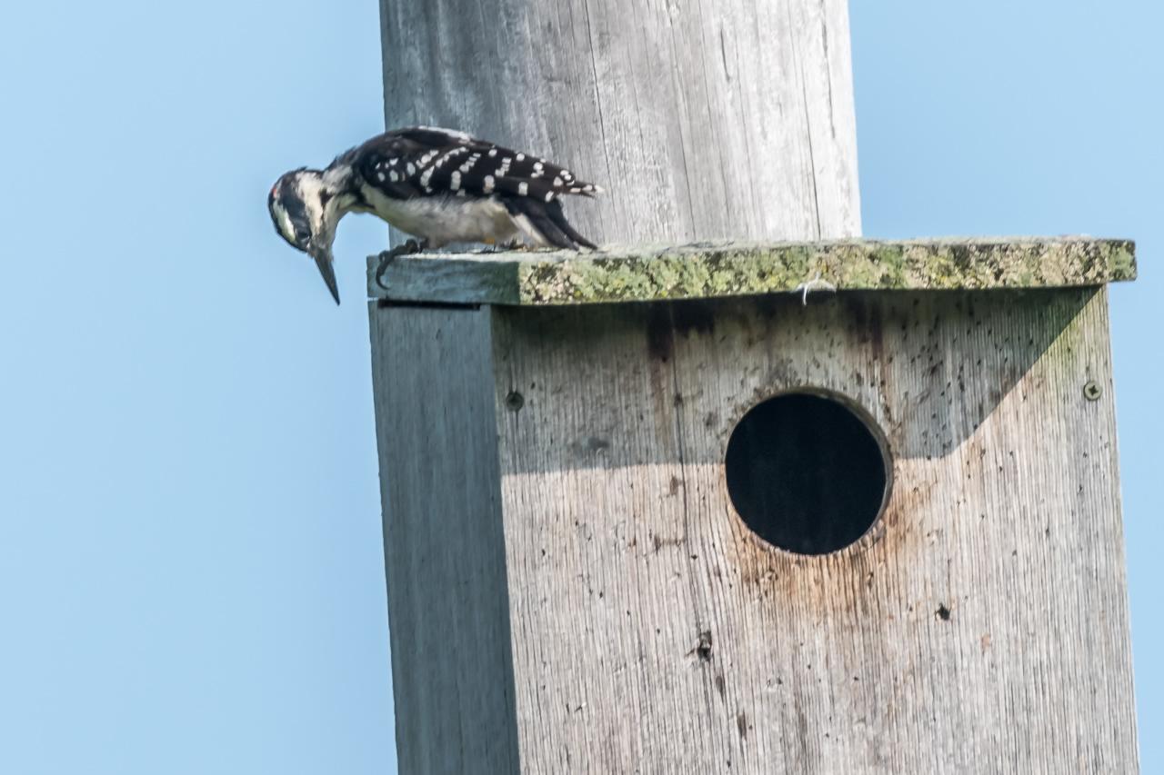 Hairy Woodpecker examining Kestrel Box (2)