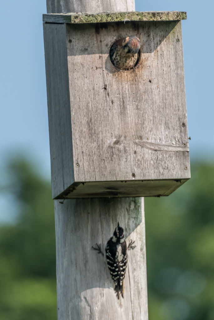 Hairy Woodpecker and baby Kestrel interacting (6)