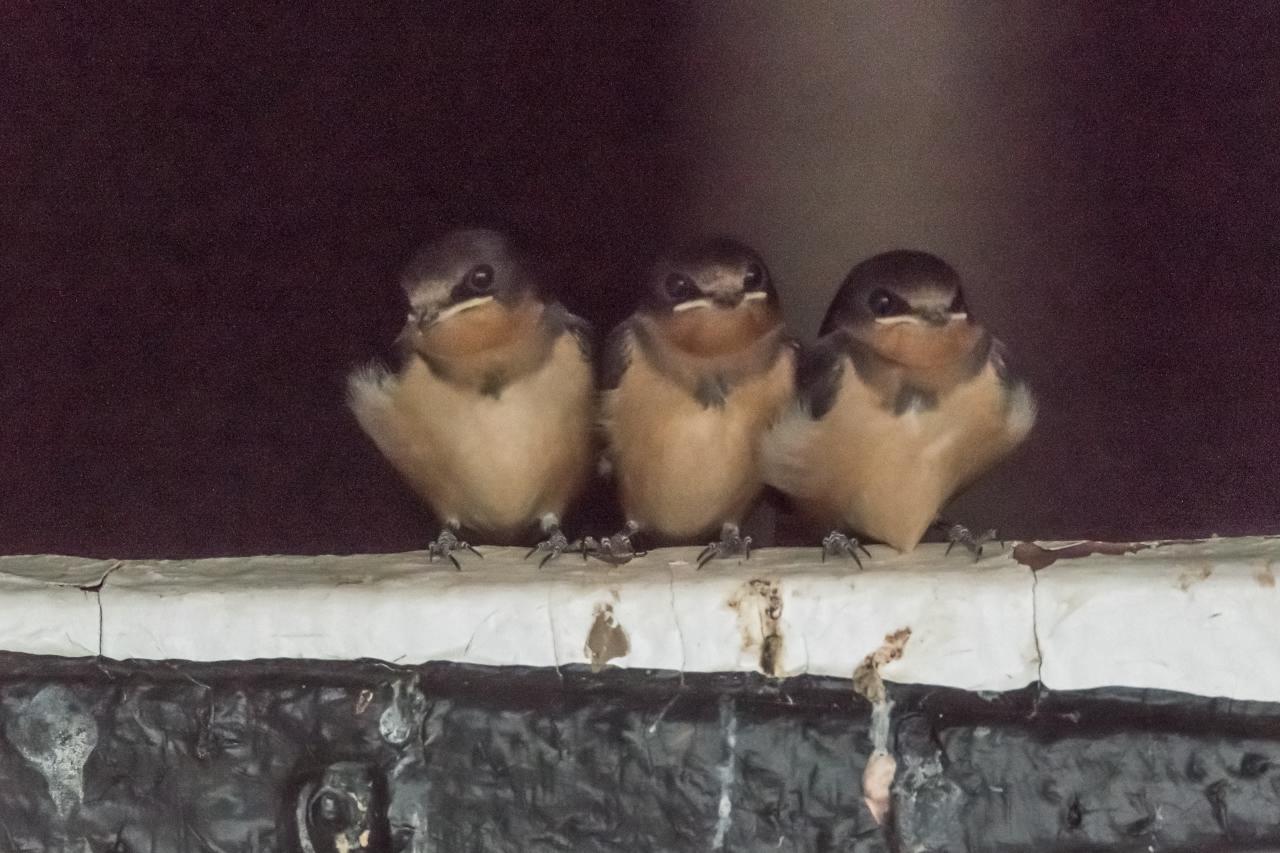 Baby Barn Swallows (7)