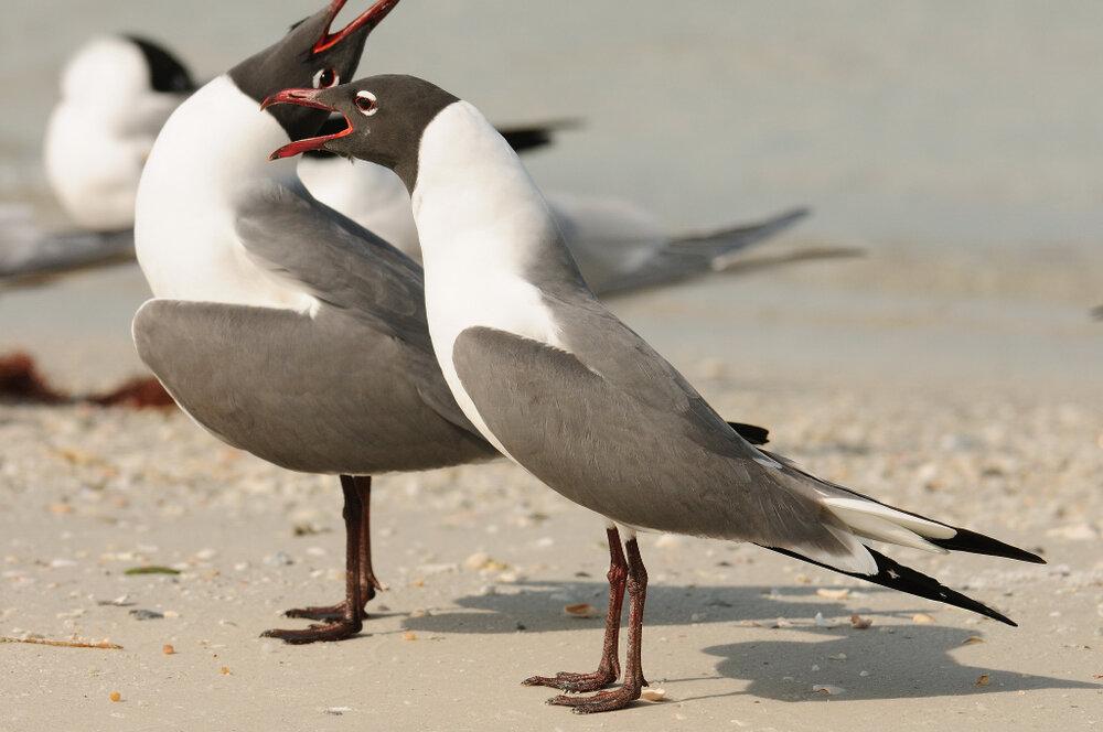 Laughing Gull, breeding ( H. Rufe)