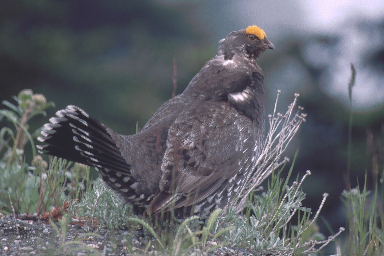3 Sooty (Blue) Grouse