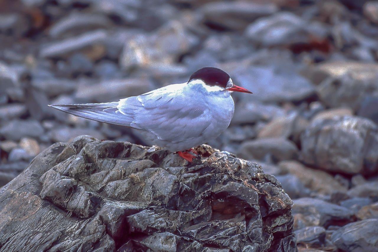 2 Arctic Tern