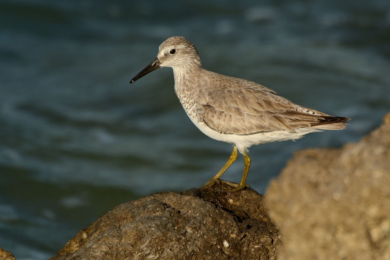 5 Red Knot