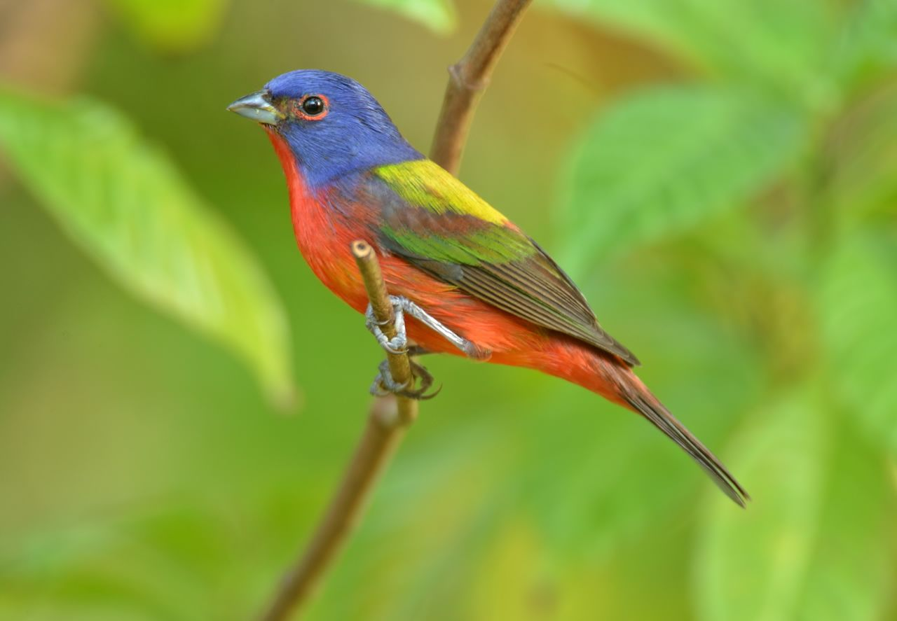 6 Painted Bunting