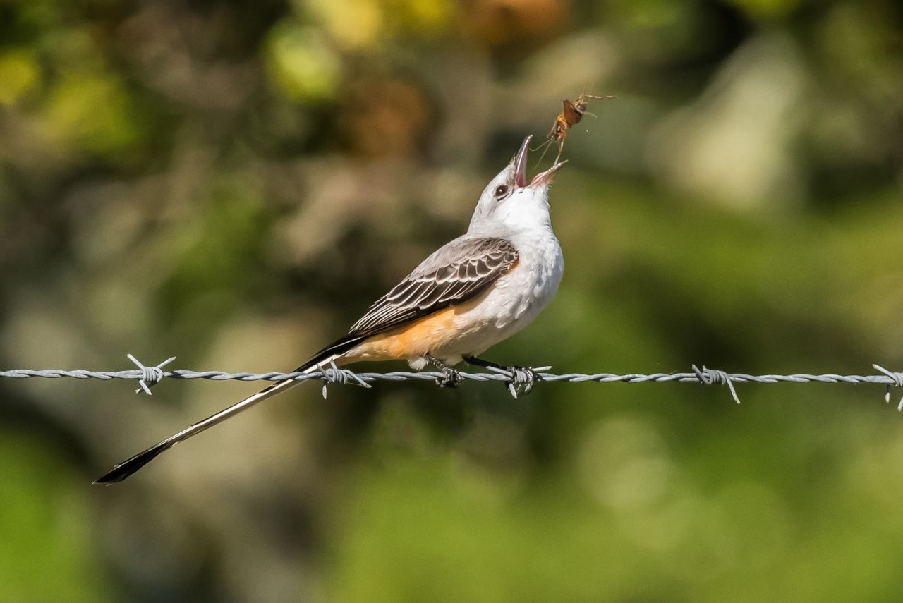 7 Scissor-tailed Flycatcher