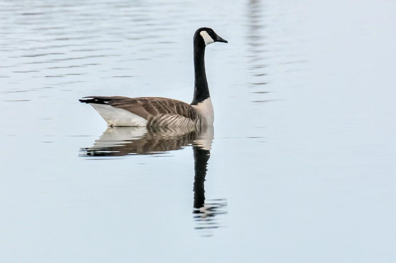 9 Canada Goose