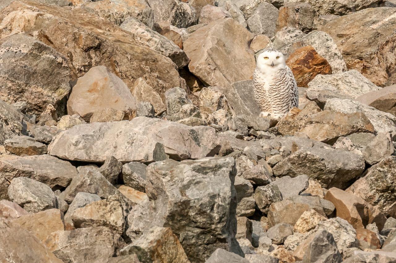 8 Snowy Owl