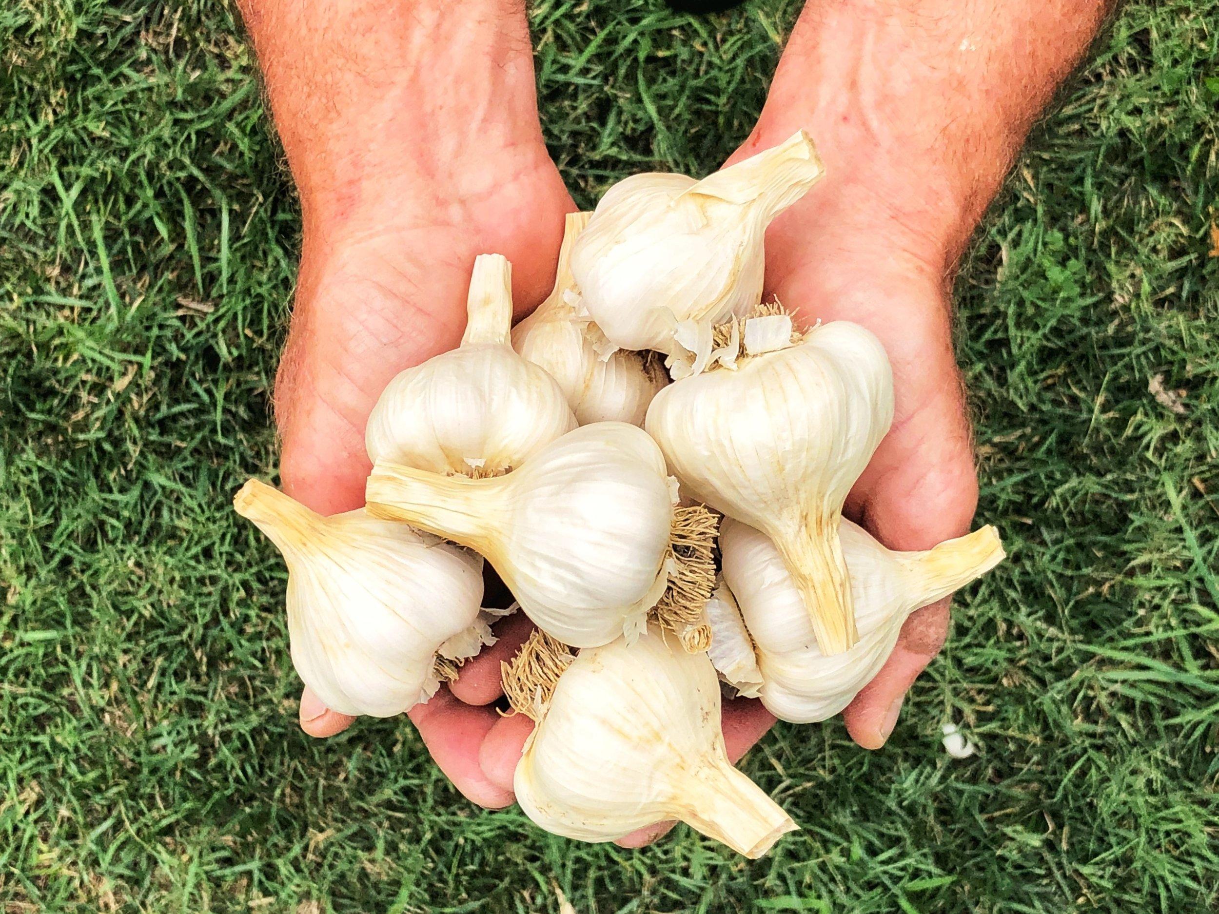 new website garlic.JPG