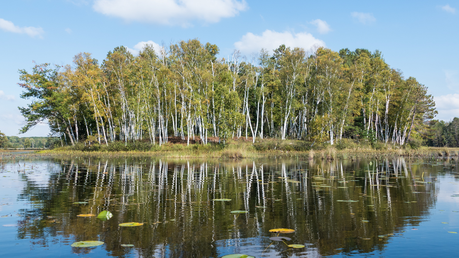 Reflections of a birch stand