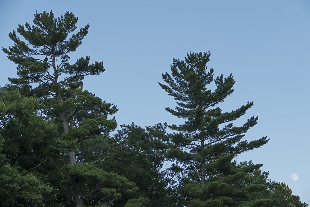 The eaglet is on the pine tree on the left and the nearly full moon is rising slowly at the far right.
