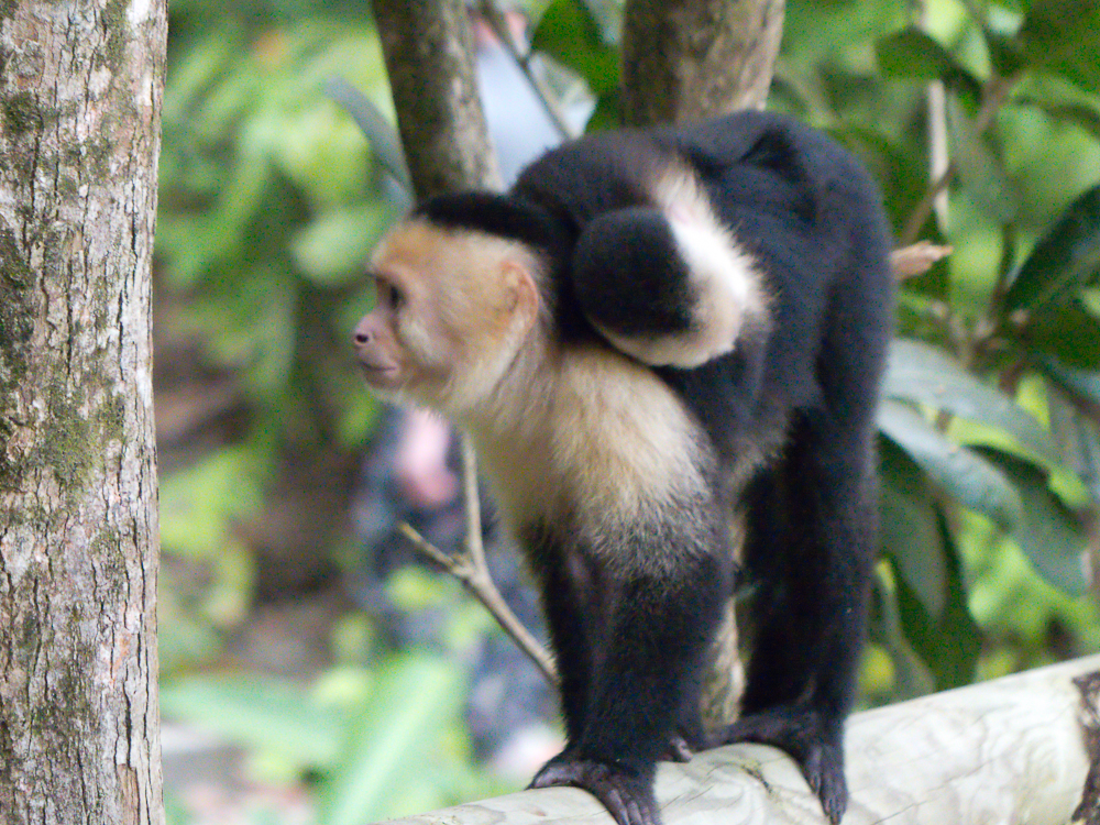 Capuchin monkey with young