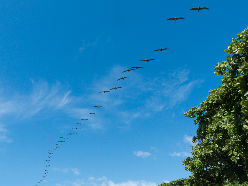 A squadron of pelicans. A Tico, as they refer to Costa Ricans, joked that they were the Costa Rican airforce.