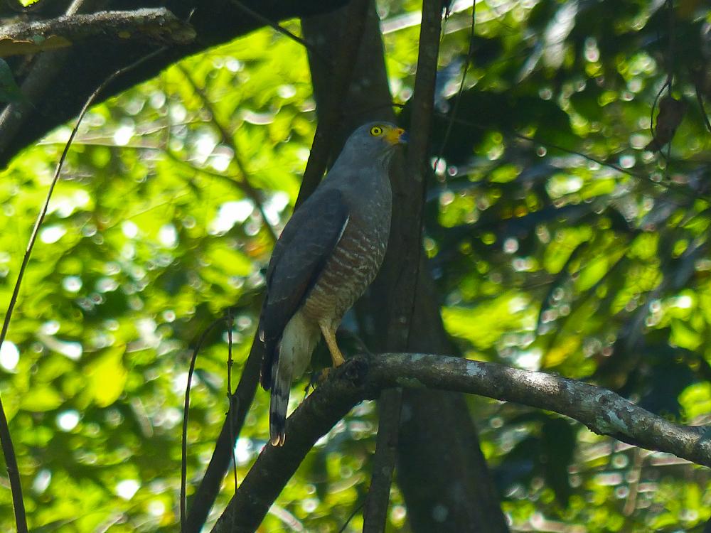 Barred Hawk at the Hacienda Baru Wildlife Refuge