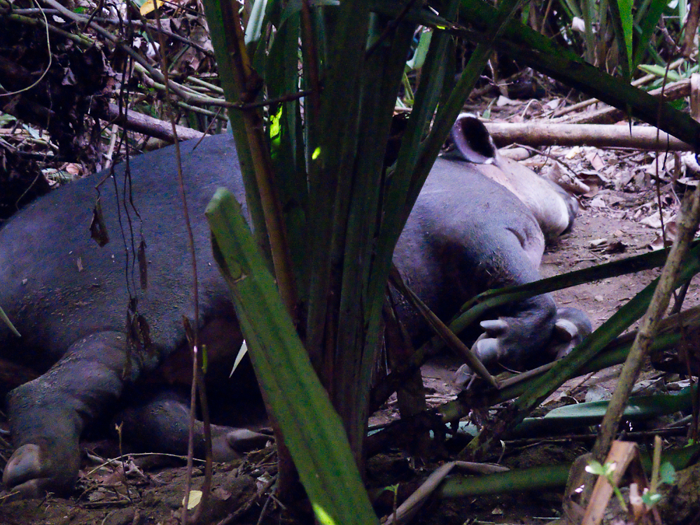 Sleeping tapir