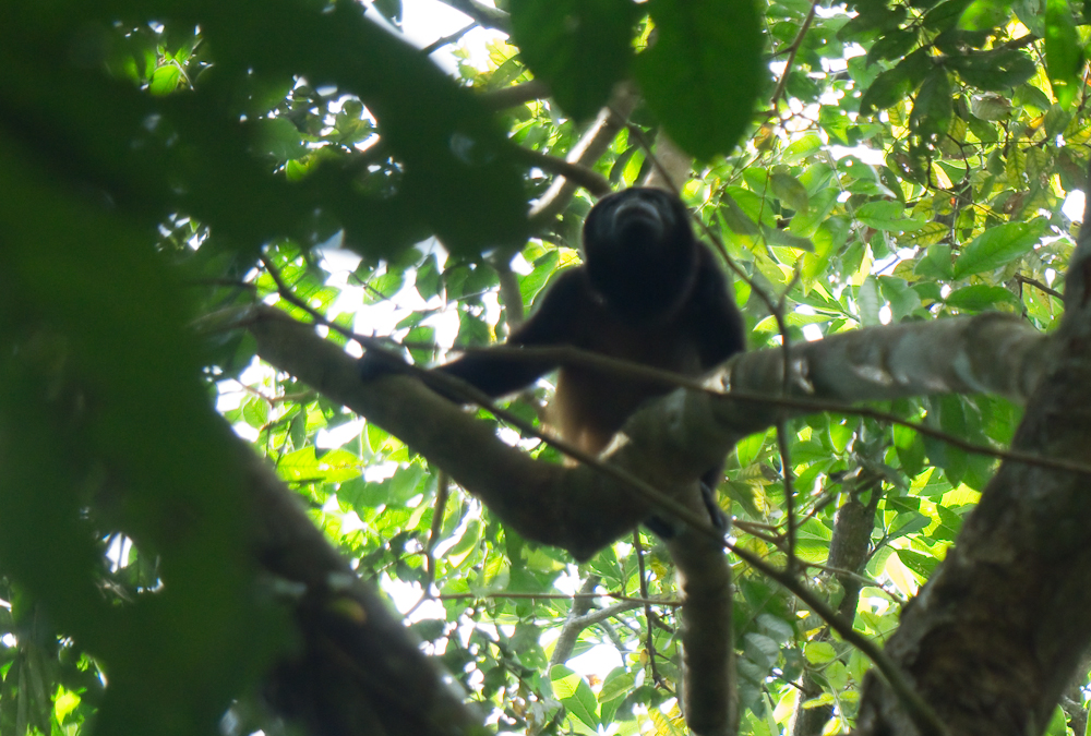 The only howler monkey we saw though we heard many of them