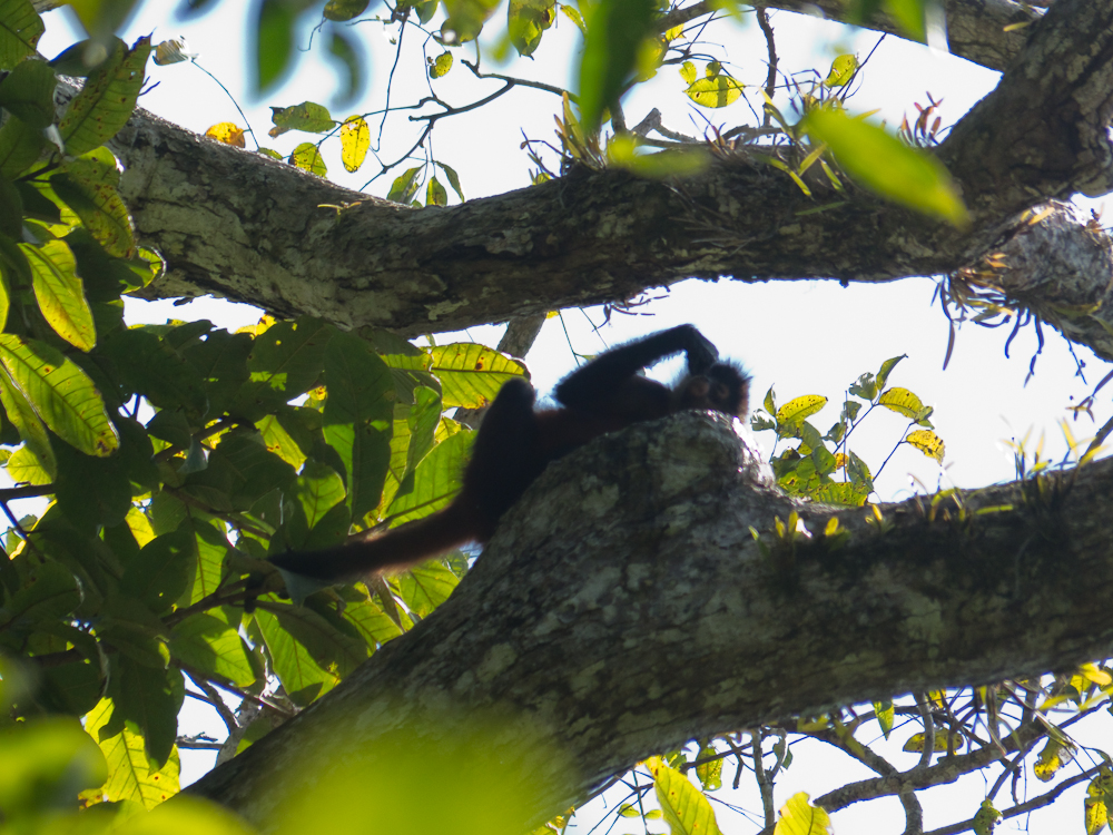Spider monkey drinking water from a hole in the tree