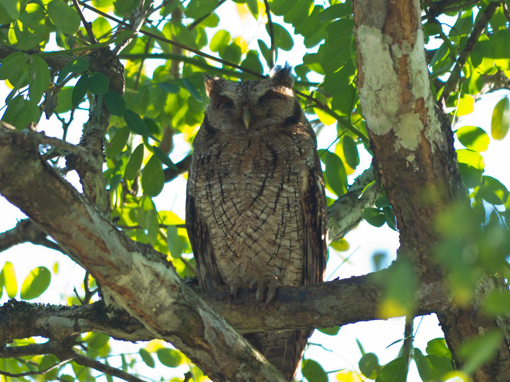 Our guide spotted this tropical screech owl in a tree as we were driving down the road