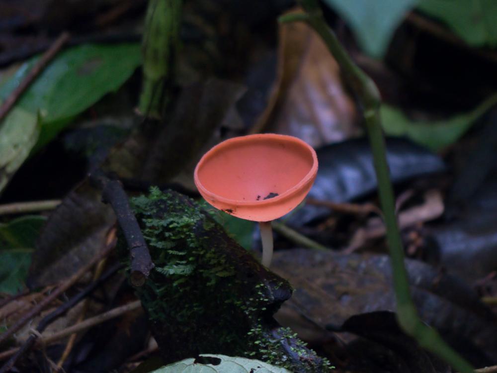 Red cup mushroom