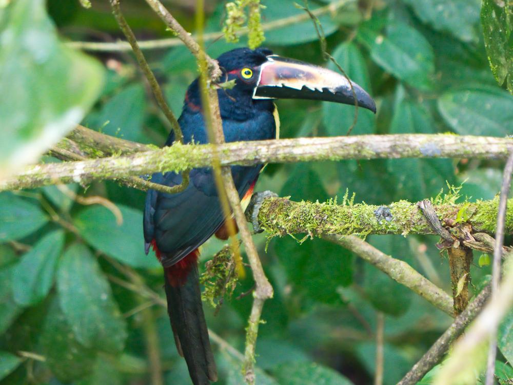 Aracari, or toucan