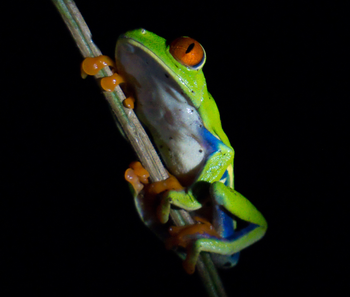 Red eyed tree frog lit by flashlight in the dark