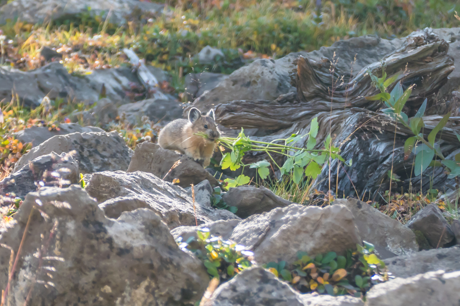 Industrious Pika getting ready for winter