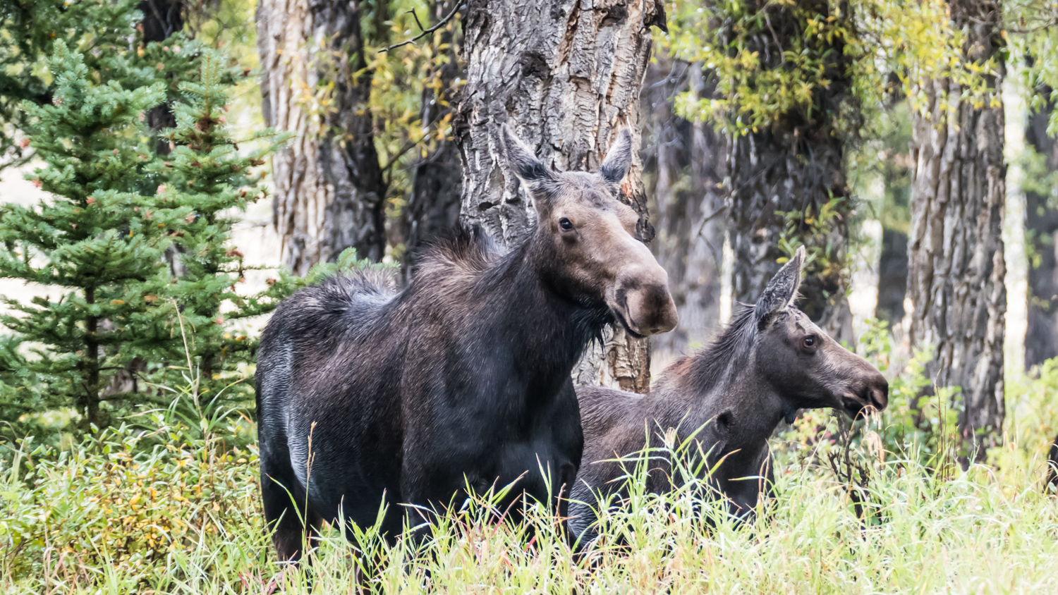 Moose sow and cub