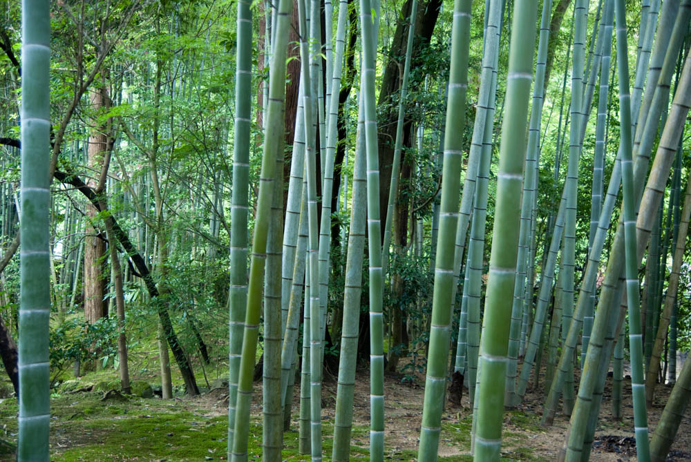 Bamboo forest in the Ginkaku-ji (Silver pavilion) temple garden