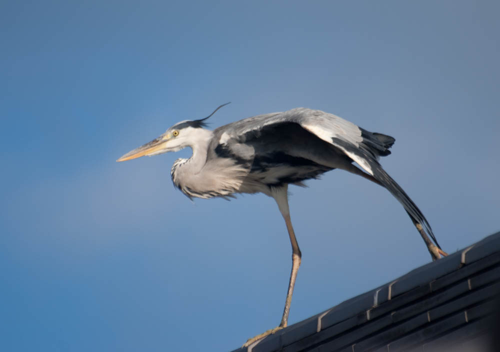 Eastern grey heron guarding the Sanjusangendo temple walls