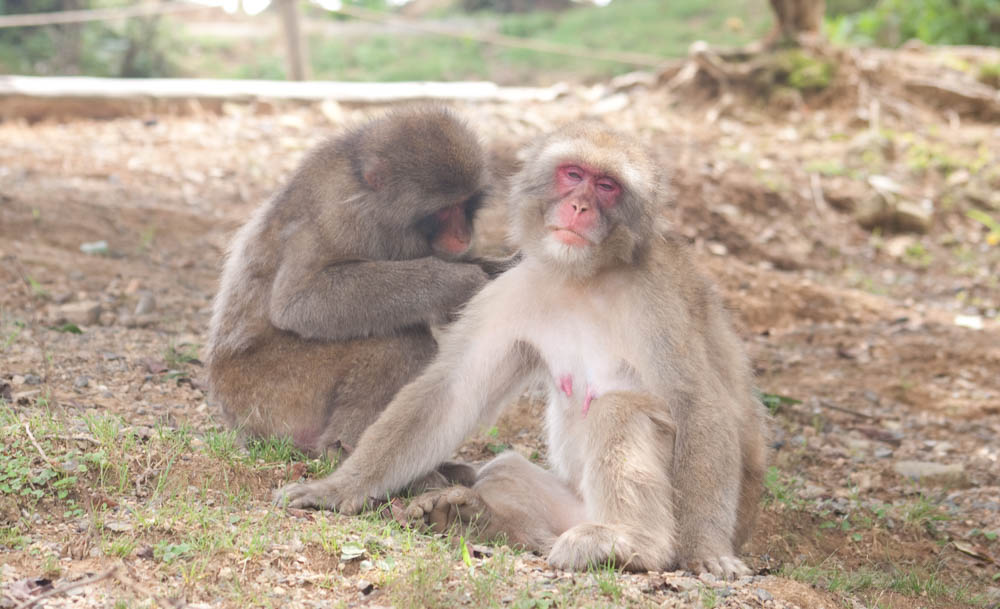 Grooming feels so good! In Iwatayama Monkey Park