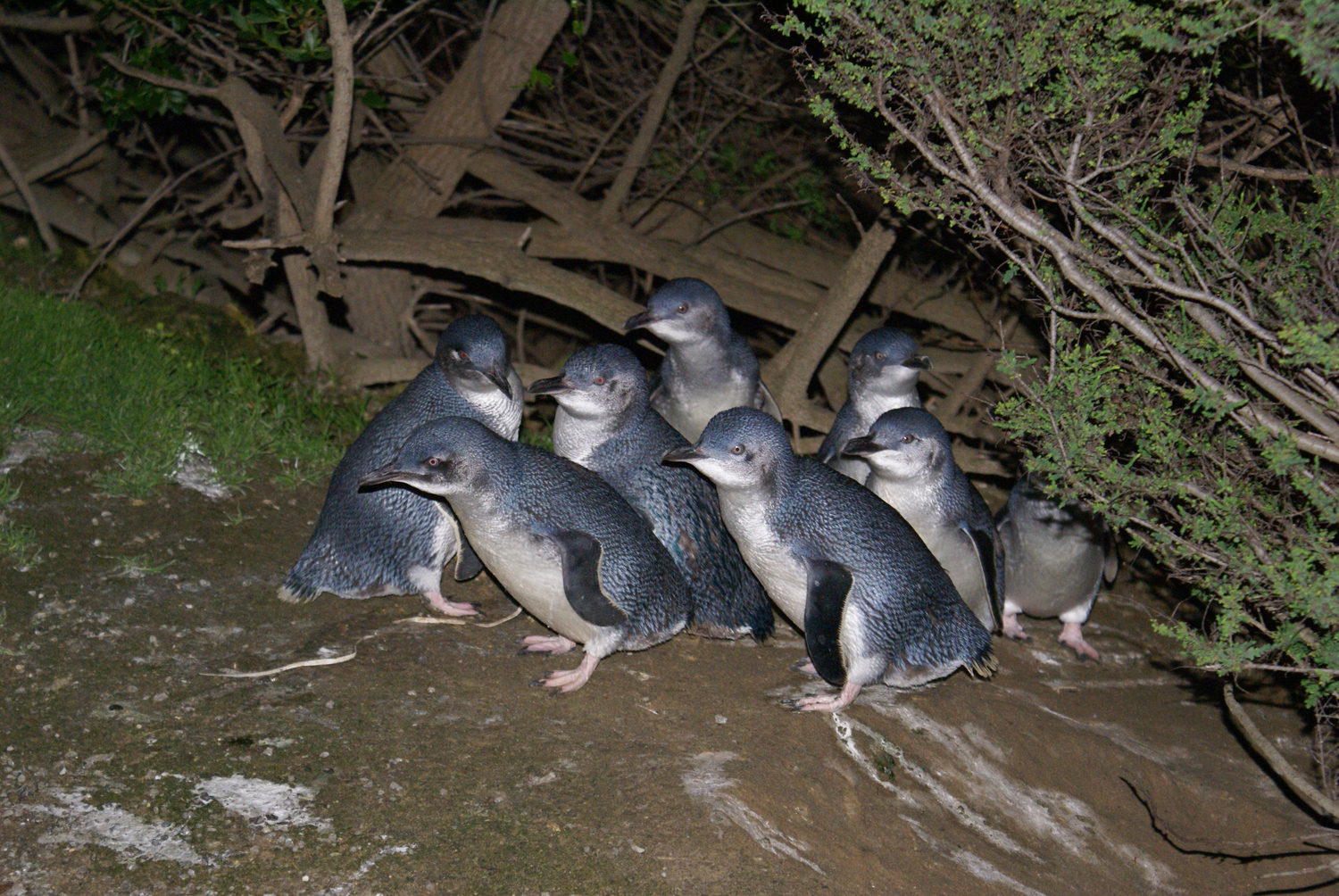 Fairy penguins at the Kangaroo Island Penguin Center in Kingscote, taken with a flash at night